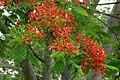 Acacia roja - Flmaboyant (Delonix regia) (14613111392).jpg