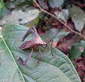 Acanthocephala sp. - Flickr - Dick Culbert.jpg