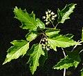 Acer ginnala B.jpg
