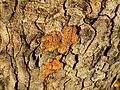 Acer obtusatum (48).JPG