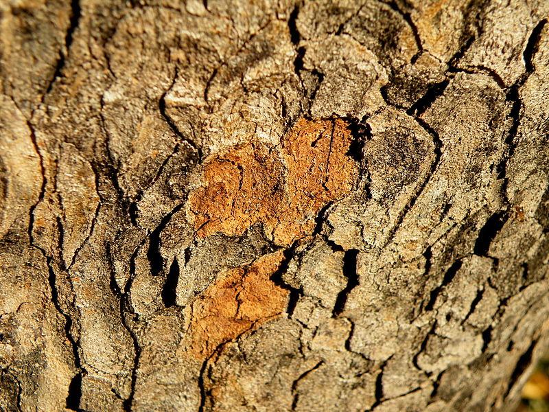 File:Acer obtusatum (48).JPG