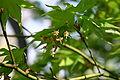Acer palmatum flowers 001.JPG
