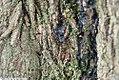 Acer platanoides 8zz.jpg