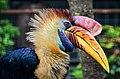 Aceros cassidix (Knobbed Hornbill - Helmhornvogel) - Weltvogelpark Walsrode 2011-07.jpg