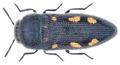 Acmaeodera bipunctata (Olivier, 1790).png