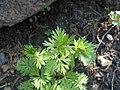 Aconitum variegatum 2017-05-06 9721.jpg