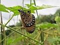 Acraea violae - Tawny Coster - Ovipositing at Peravoor 01.jpg