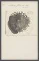 Actinia forskaehli - - Print - Iconographia Zoologica - Special Collections University of Amsterdam - UBAINV0274 109 05 0014.tif
