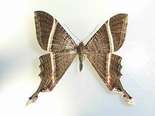 Sematurinae subfamily of insects