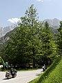 Admont - Naturdenkmal 913 - Rotbuche (Fagus sylvatica) bei der Bachbrücke.jpg