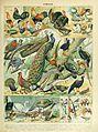 Adolphe Millot oiseaux C.jpg