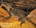 Adult female of Enyalioides binzayedi - ZooKeys-277-069-g009-C.jpg