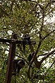 Adult lion-tailed macaque looking at the electrocuted infant in Valparai DSC 2537.jpg