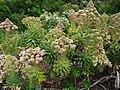 Aeonium percarneum var. percarneum.jpg