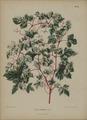 Afbeelding-070-Ampelopsis glandulosa.tif
