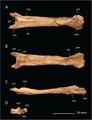Aff Quetzalcoatlus - Longrich et al 2018.PNG