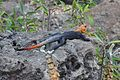 African Rainbow Lizard or African Red-headed Agama (8502393169).jpg