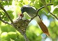 African paradise flycatchers, Terpsiphone viridis, nesting at at Walter Sisulu National Botanical Garden, December 1, 2014 (15756925889).jpg