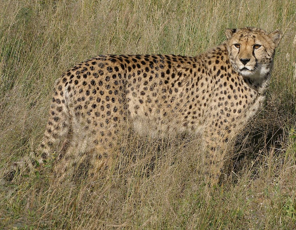 https://upload.wikimedia.org/wikipedia/commons/thumb/4/4b/Africat_Cheetah.jpg/1024px-Africat_Cheetah.jpg