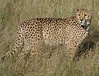 Africat Cheetah.jpg