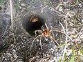 Agelena labyrinthica Hoog Buurlo 1.jpg