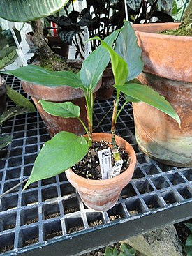 Aglaonema simplex - Lyman Plant House, Smith College - DSC04243.JPG