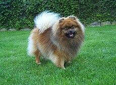 Pomerania Razza Canina Wikipedia