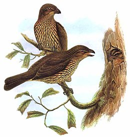 Ailuroedus dentirostris by Bowdler Sharpe.jpg