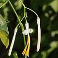 Alangium platanifolium var. trilobatum (bud and flower s2).jpg