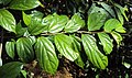 Alangium salviifolium leaves and flowers 07.JPG