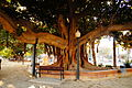 Alicante big tree 3.JPG
