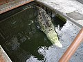 Alligator, Atagawa 05.jpg