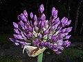Allium aflatunense 2016-05-17 0726.jpg