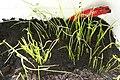Allium schoenoprasum, sprouts.JPG