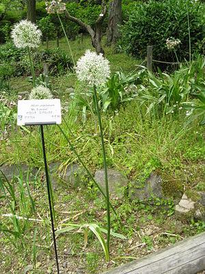 Allium stipitatum - Image: Allium stipitatum 'Mt Everest'1