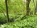 Allium ursinum MdE 1.jpg