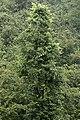 Alnus glutinosa - Common alder, Giresun 2017-07-06 01-1.jpg