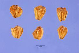 Alnus incana seeds.jpg
