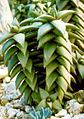 Aloe pearsonii - Endangered Namibian Aloe.jpg