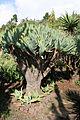 Aloe plicatilis.JPG