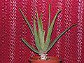 Aloe vera20140904 31.jpg