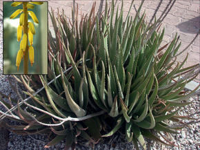 Description de l'image Aloe vera flower inset.png.