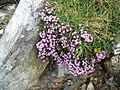 Alpine flora, on the side of Glyder Fawr - geograph.org.uk - 1411487.jpg