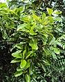 Alseodaphne semecarpifolia 1a.JPG