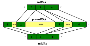 Primary transcript - Alternative splicing of the primary transcript