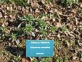 Alyssum saxatile Kőszeg1.jpg