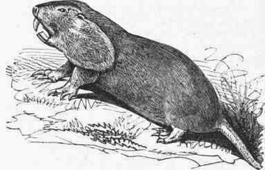 AmCyc Gopher - Pouched Gopher.jpg