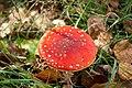 Amanita muscaria (8071996516).jpg