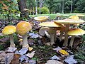 Amanita muscaria var. guessowii Veselý 679980.jpg
