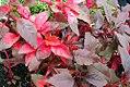 Amaranthus tricolor Early Splendor 0zz.jpg